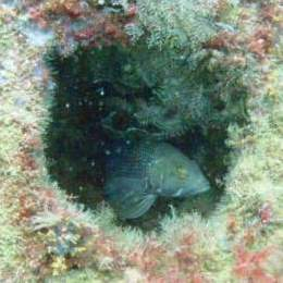 Artificial Reef with Black Seabass